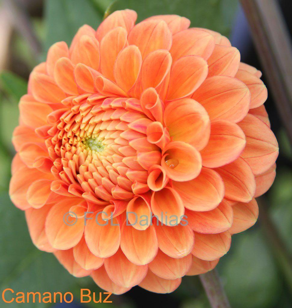 Camano Buz Orange Dahlias I Dont Have Pinterest Dahlia