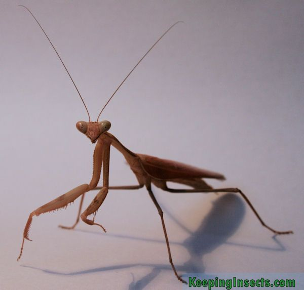 Giant Asian Mantis Hierodula Membranacea Keeping Insects Praying Mantis Insect Art Asian