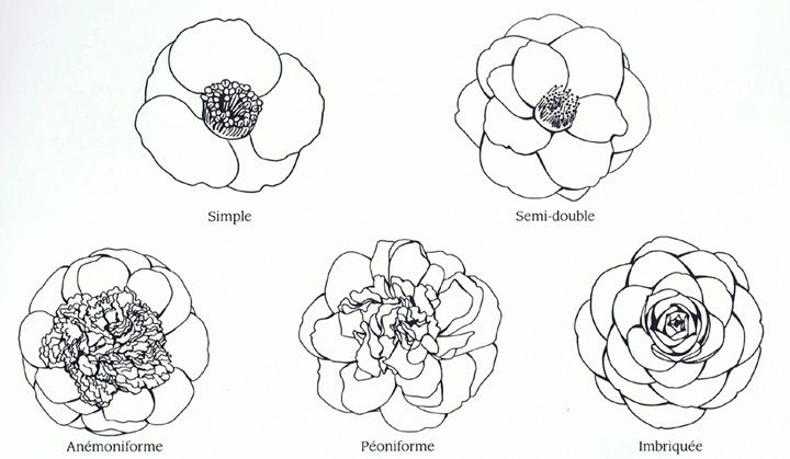 10d1c853d Camellia flower forms … | 插画 | Tatto…