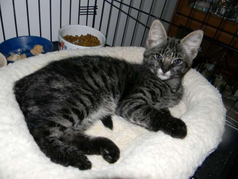 Smoke Color Savannah Savannah Cat Bengal Cat Savannah Chat