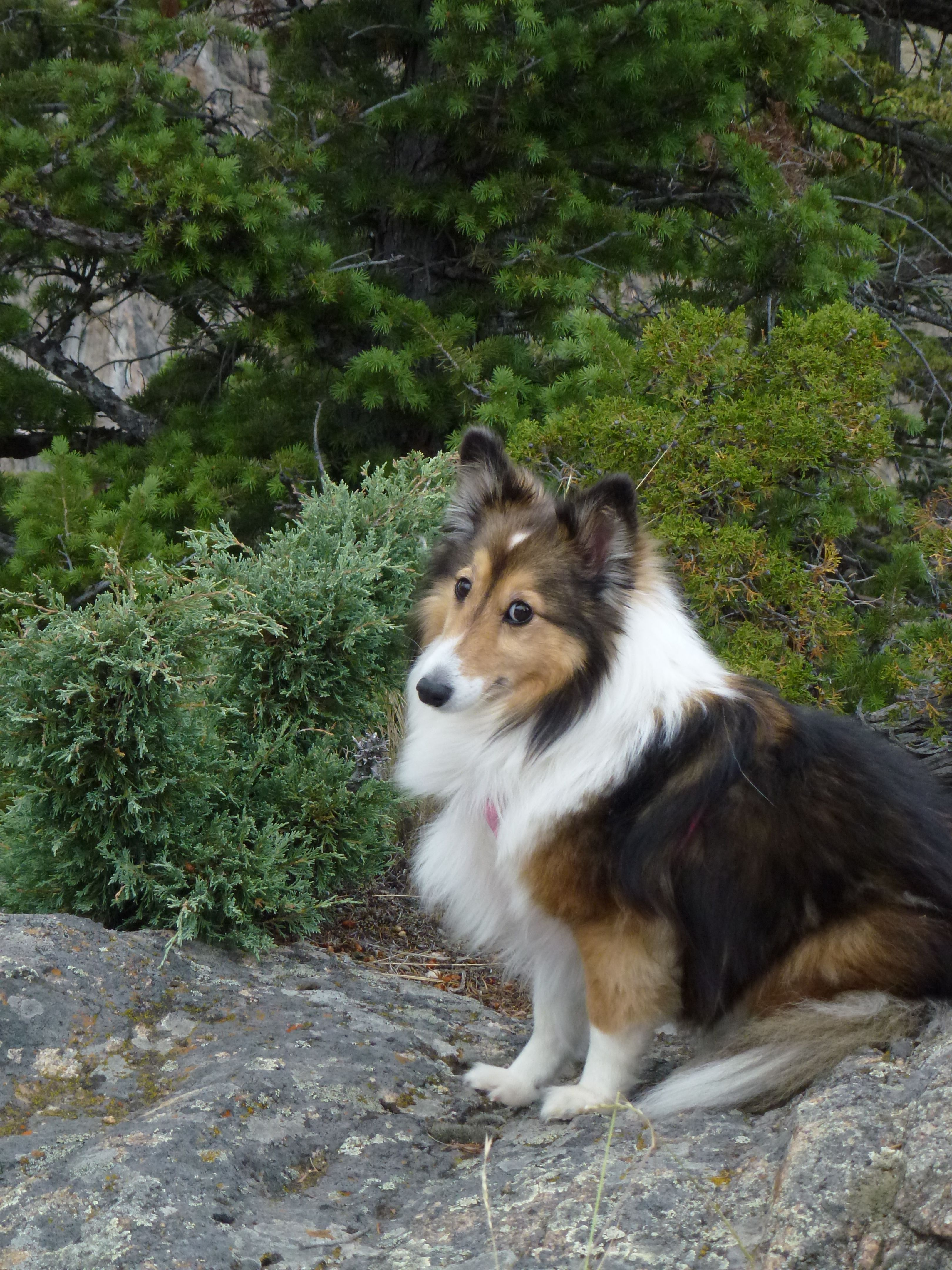 Sophie S First Trip To Wyoming Sheltie Dogs Sheltie Shetland