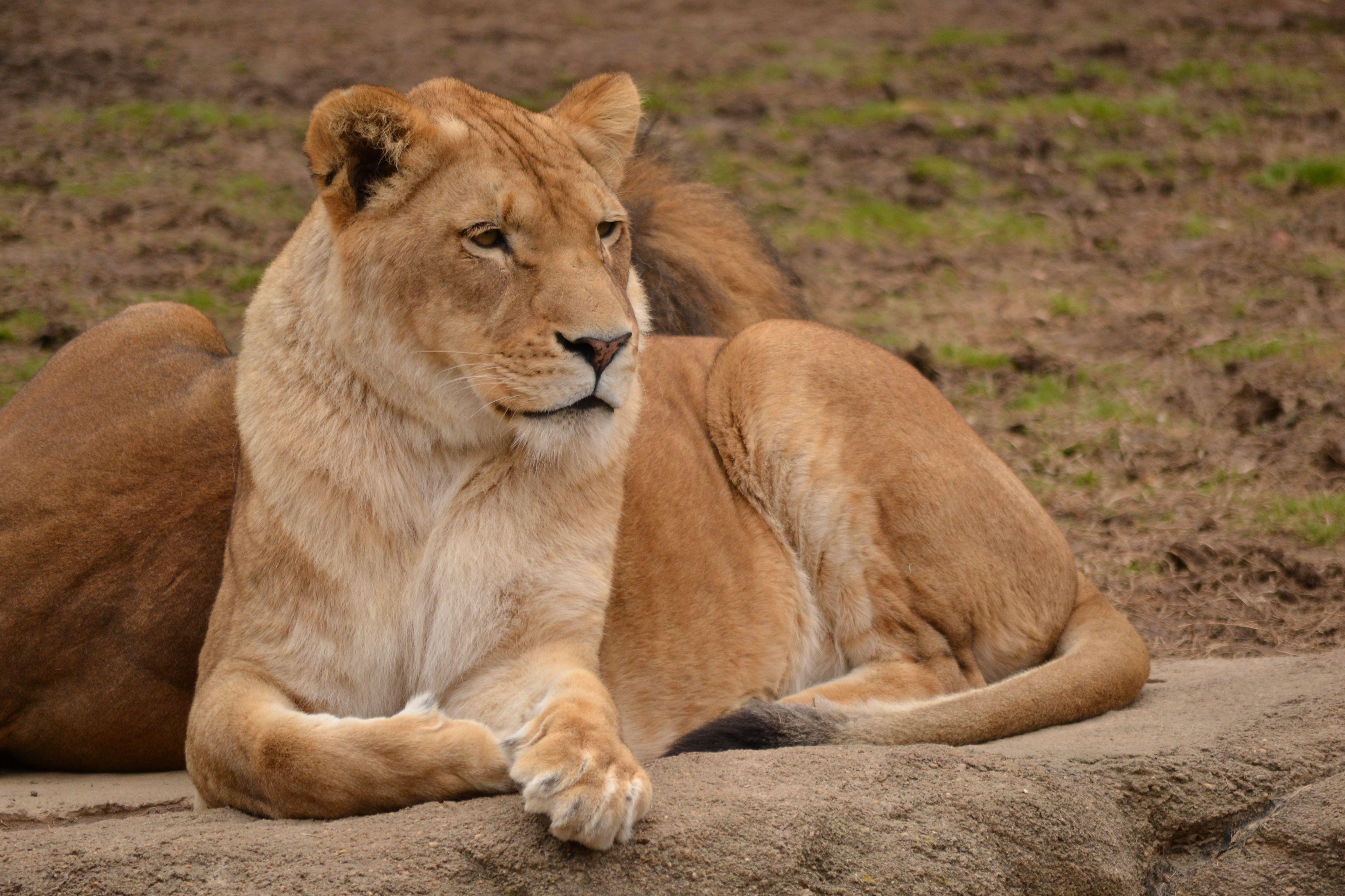 Pin By Leet Kitchen On Memphis Zoo Memphis Zoo Zoo Lion