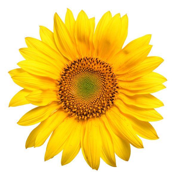 Gambar Bunga Matahari Flowers And Gardening Ideas Tags Bunga Matahari Bunga Matahari Kecil Bunga Matahari Putih Bunga Matahari Bunga Bunga Matahari Gambar