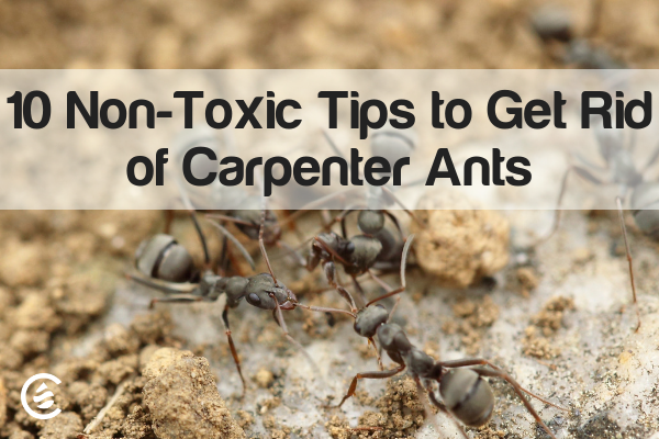 How To Get Rid Of Sugar Ants With Just 3 Ingredients Happy Home Fairy Sugar Ants Happy Home Fairy House Cleaning Tips