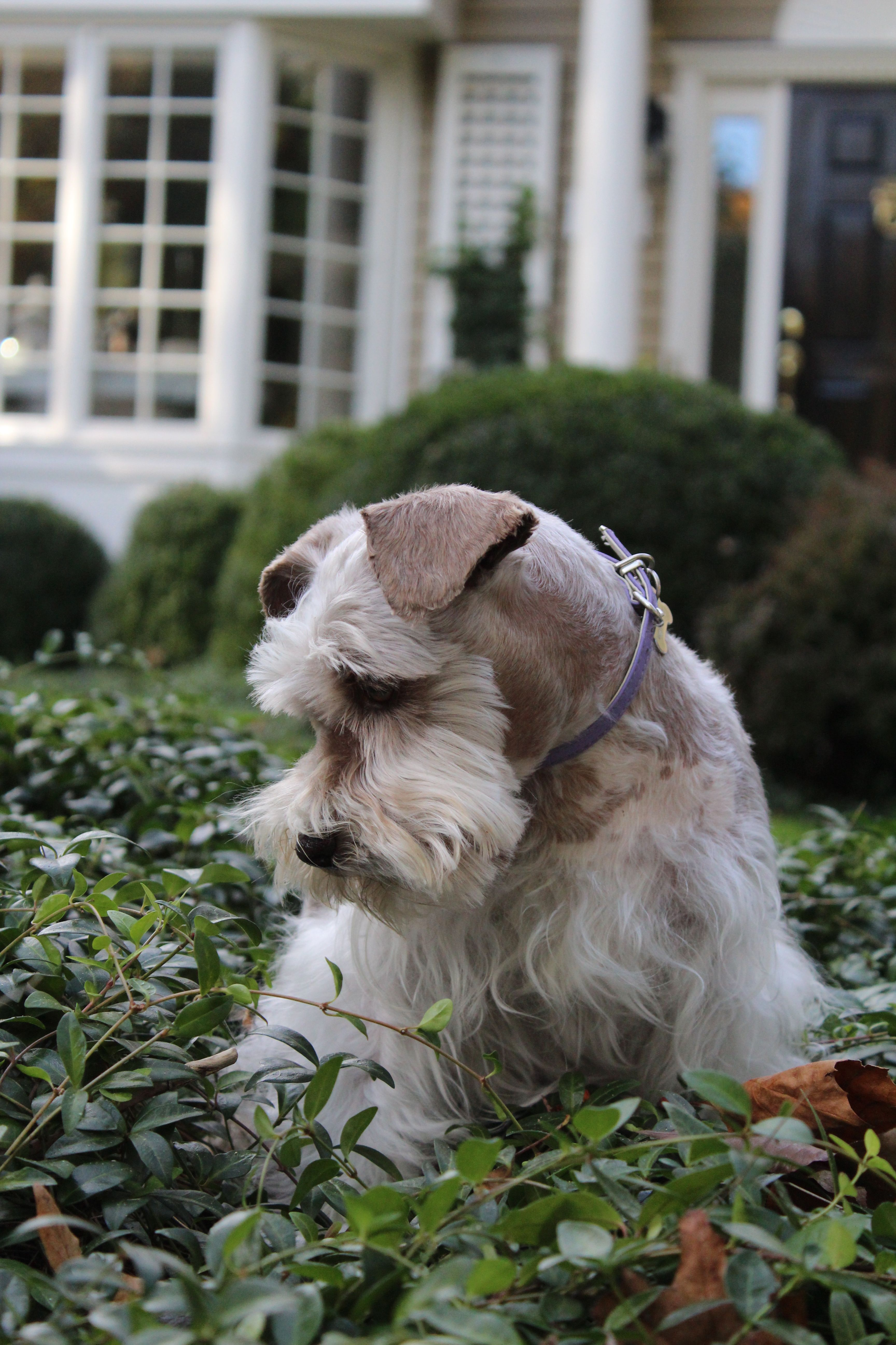 Violet Enjoys A Marvelous Fall Day In Ct Dog Foto Schnauzer Dogs Animals Beautiful