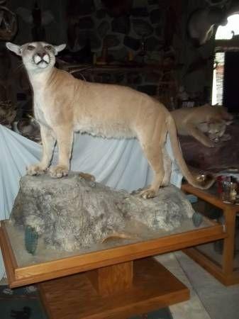 The Rare Flat Head Mountain Lion 900 Mountain Lion Bad