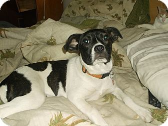 Boston Terrier Jack Russell Mix Boston Terrier Jack Russell