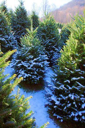 Christmas Tree Farm In The North Carolina Mountains Near Asheville Christmas Tree Farm Tree Farms North Carolina Mountains
