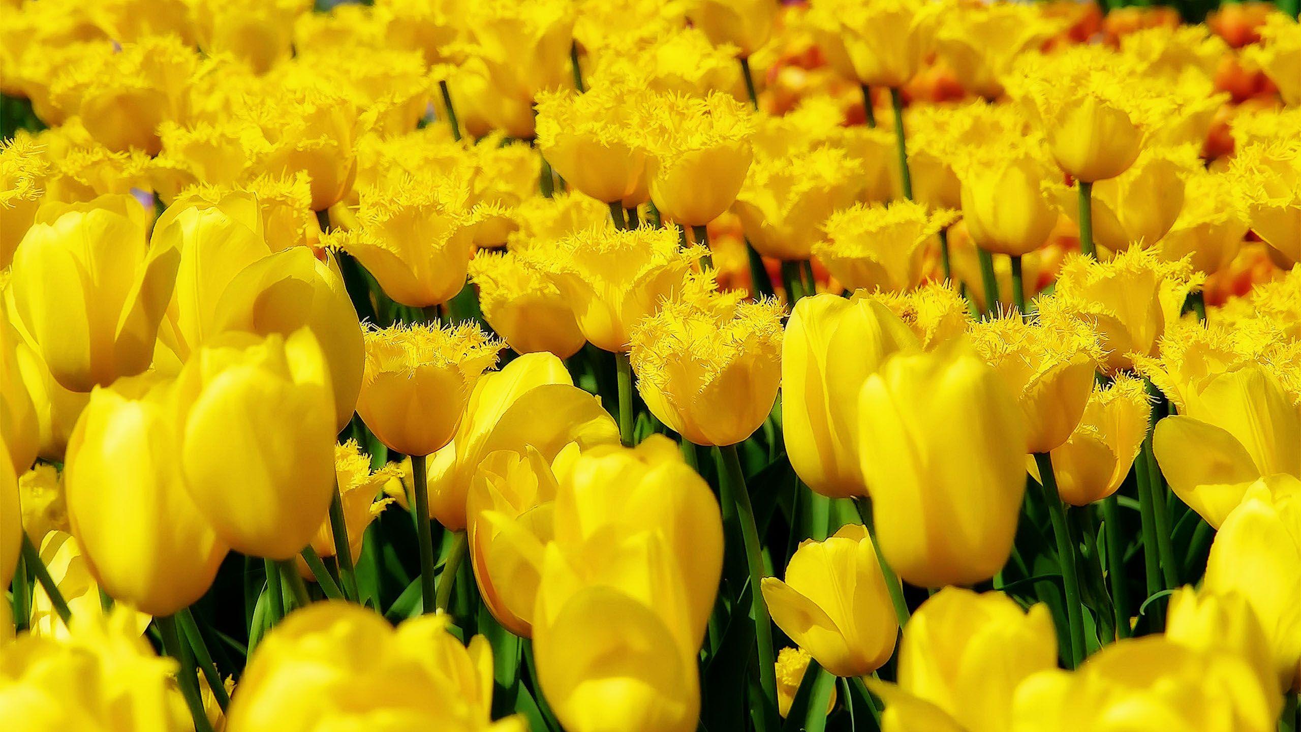Yellow Tulips Field Http 1080wallpaper Net Yellow Tulips Field Html
