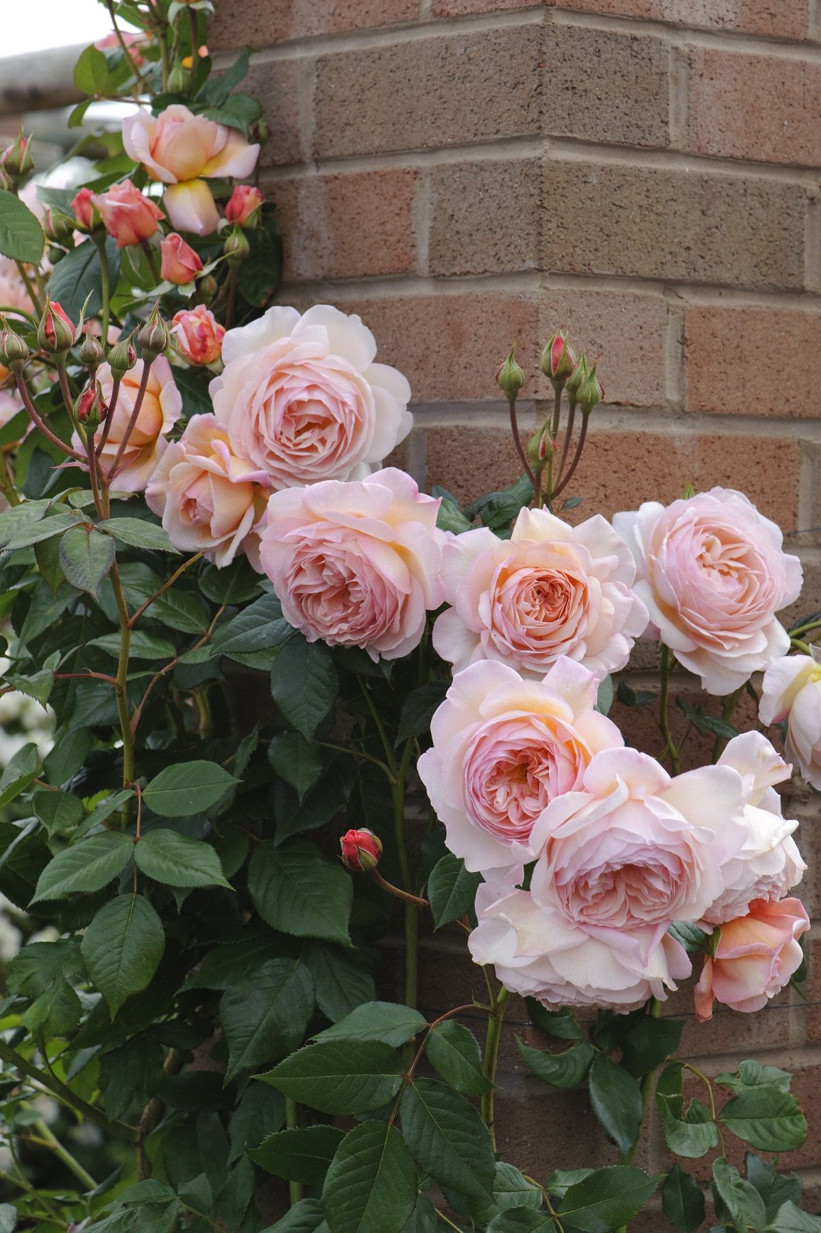 Pictures of climbing roses in front of english home.