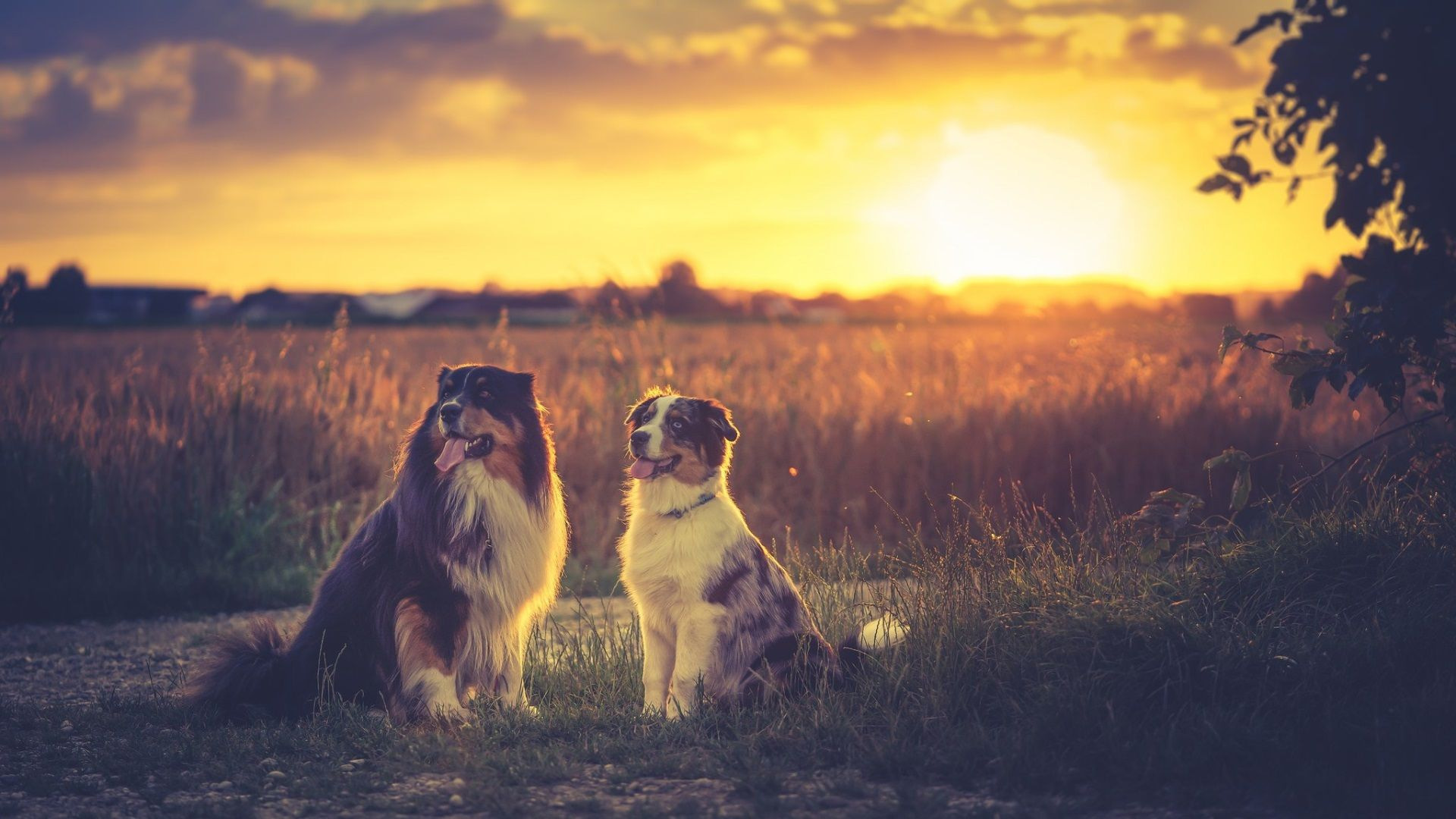 1920x1080 Australian Shepherd Full Screen Wallpaper Hd Australian Shepherd Animals Aussie Dogs