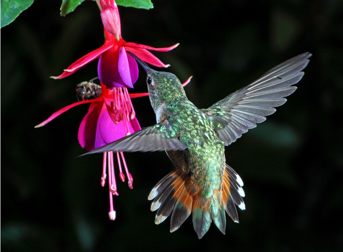 Tim J Allen S Hummingbird Fuschia Flower Fuchsia Flower Hummingbird Pictures Hummingbird