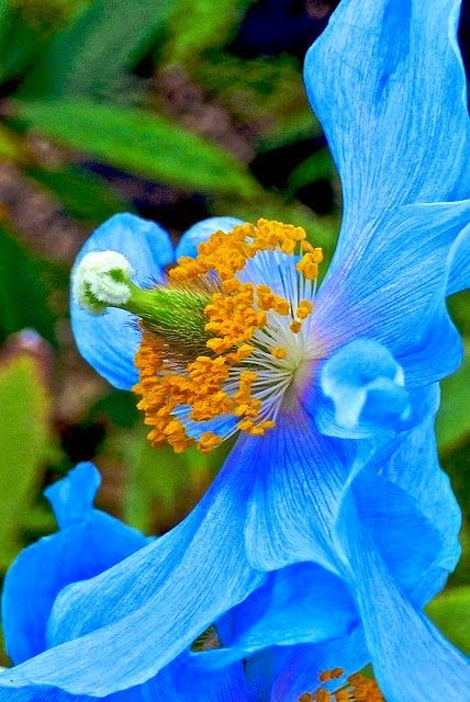Tibetan Blue Poppy Gorgeous Dreaming Gardens Schoner Blumengarten Blauer Mohn Mohnblume