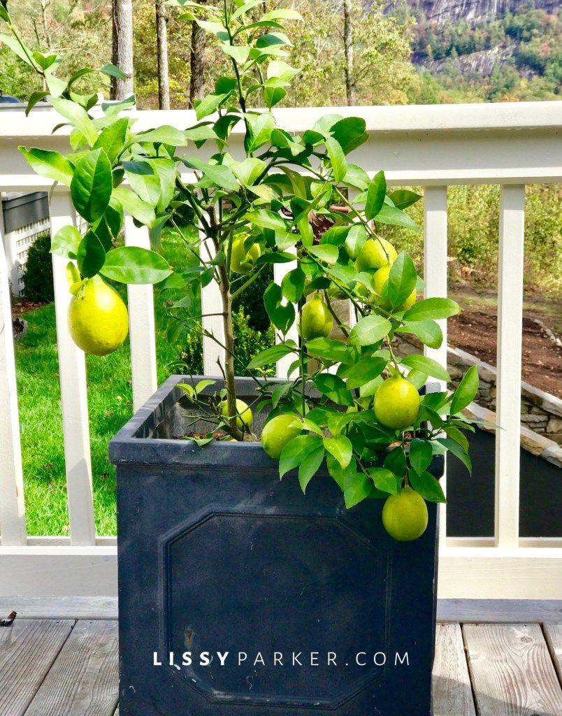 Lemons of Friday Garden, Lemon tree, Lemons