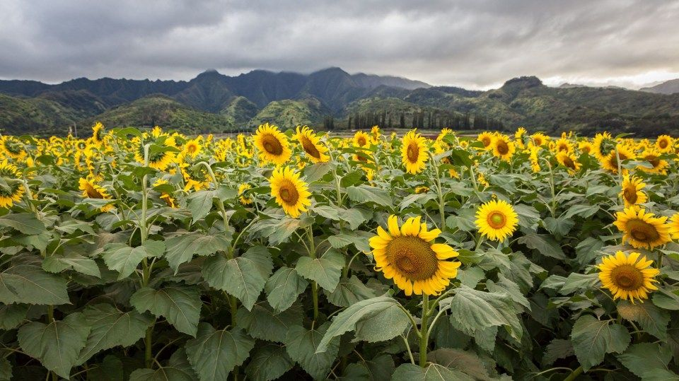 Sunflower Patch Near Me 13 Questions To Ask At Sunflower