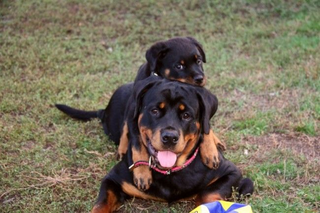 Rottweiler Puppies 38 Pictures Rottweiler Facts Rottweiler