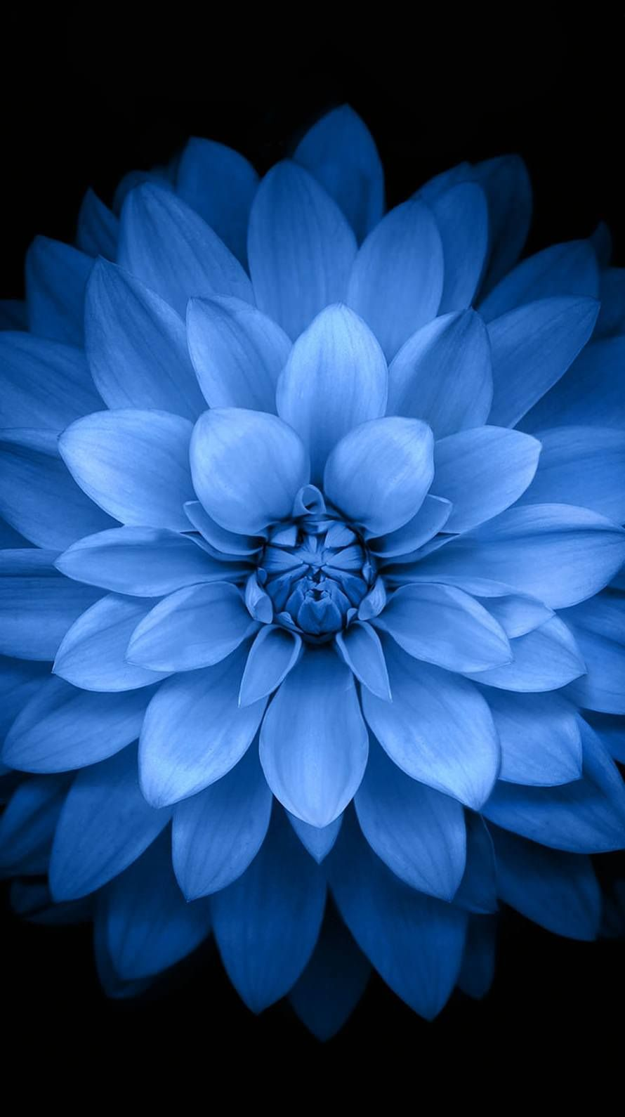Blue Black Flower Wallpaper Sc Iphone6 Flower Iphone Wallpaper Blue Flower Wallpaper Blue Wallpaper Iphone