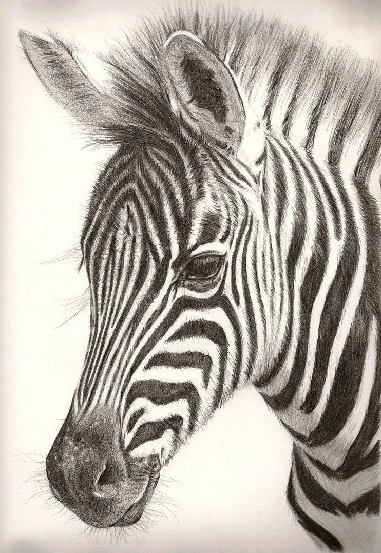 Pencil Drawing Zebra