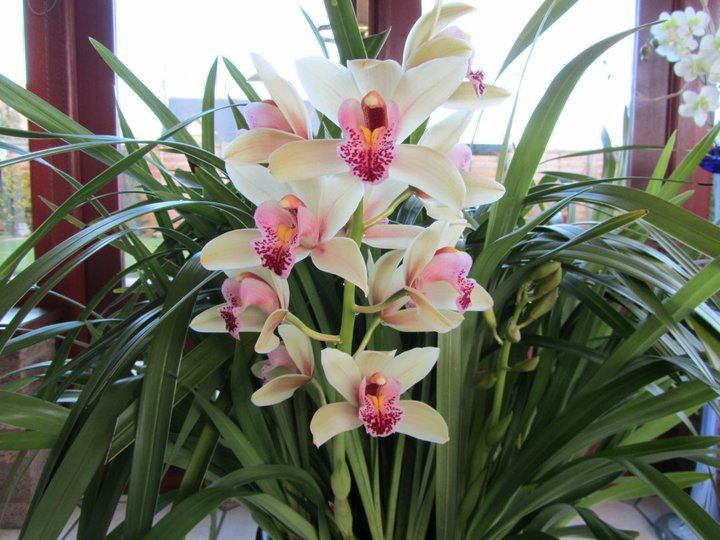 Cymbidium Care How To Care For Your Cymbidium Orchids Cymbidium Orchids Care Beautiful Orchids Cymbidium Orchids