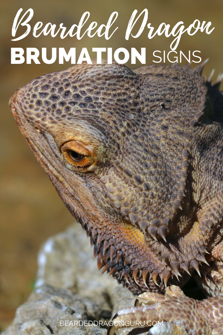 It is becoming increasingly common for bearded dragon owners or carers to confuse their beardie for being dead when it is actually just in a stage of brumation. Hopefully you never have to experience this assessment but would you know how to spot the difference? Click the link to see if you do #beardeddragonbrumation #brumation #beardeddragoncare #beardie #reptilebrumation #beardeddragonbrumating