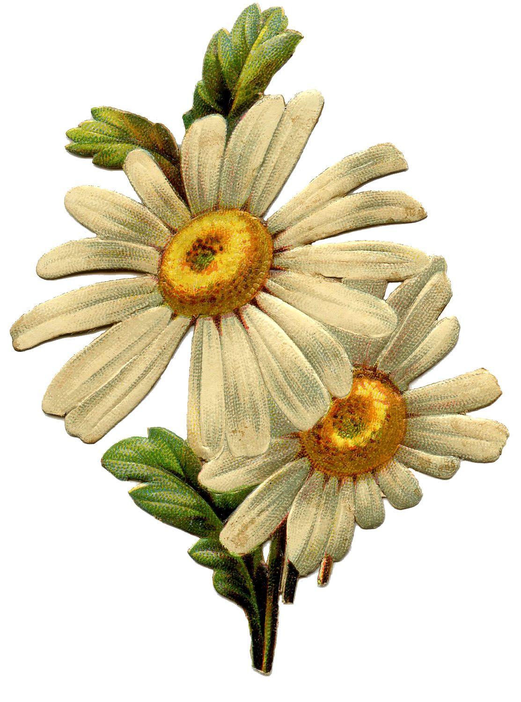 Vintage Daisy Image Daisy image, Vintage flowers, Flower