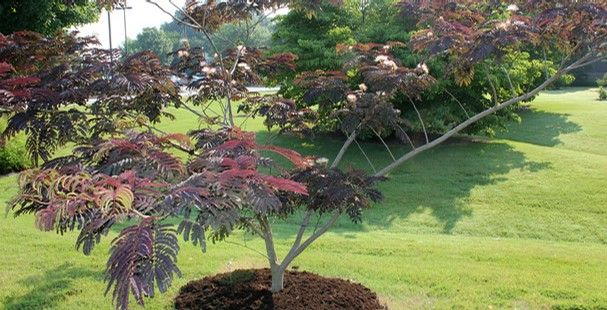 chocolate mimosa tree see and purchase summer chocolate