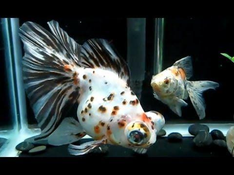 Calico Butterfly Telescopes And Ryukin Goldfish Youtube