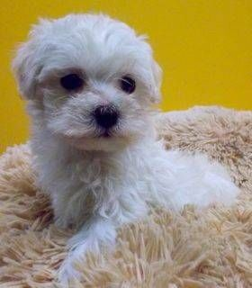 Aero Gorgeous Maltapoo Puppy For Sale In Jacksonville Fl