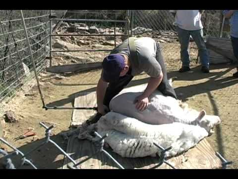 Sheep Shearing for wool- to go with book