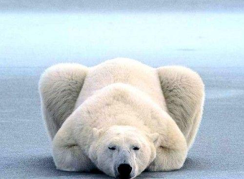 Polar Bear, gorgeous.