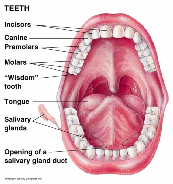 Diagram Of Digestive System Mouth And Teeth Simple Electronic