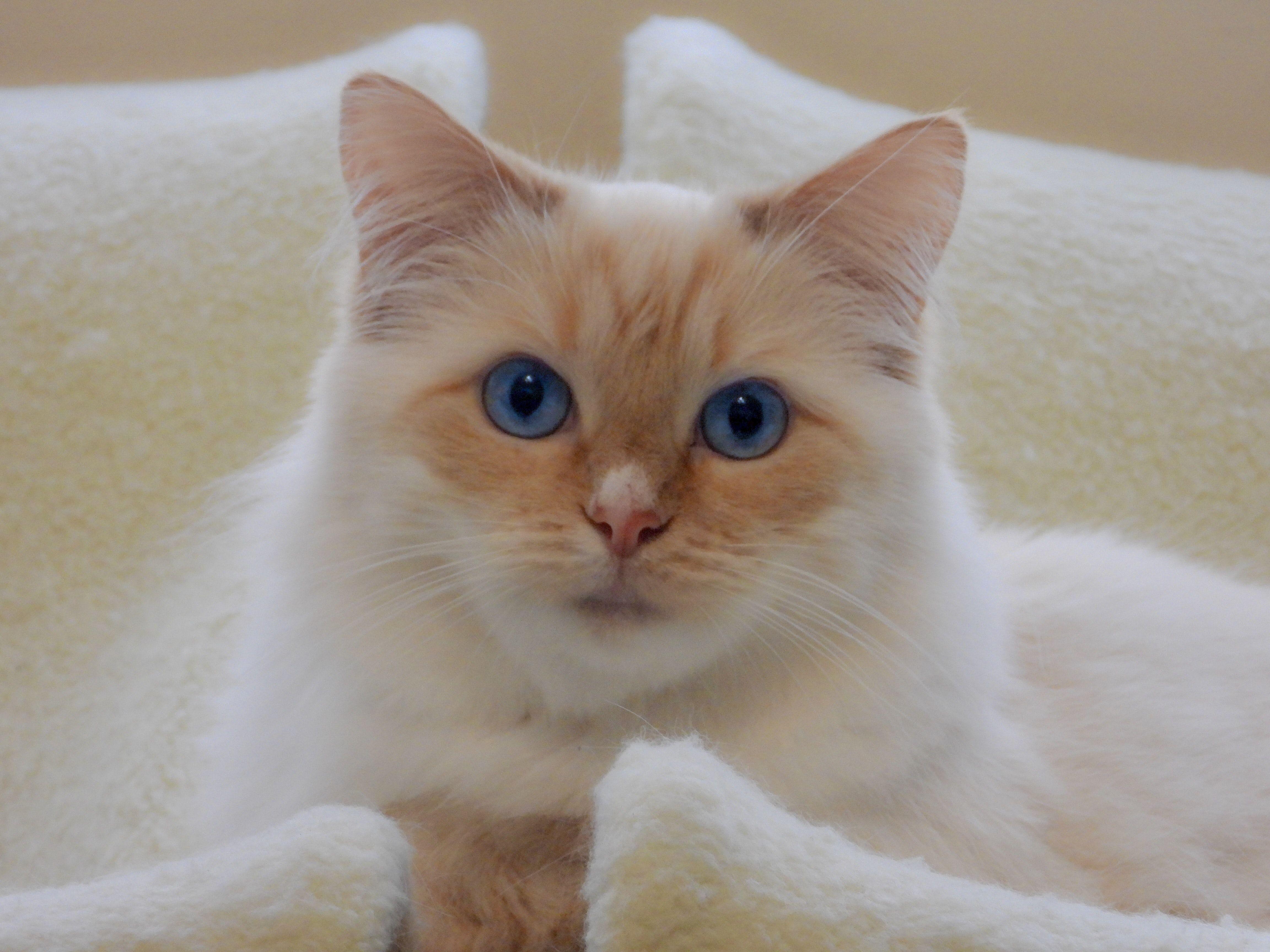 Short Coated Tan Cat On Brown Pillow Cat Breeds Cute Cat Breeds