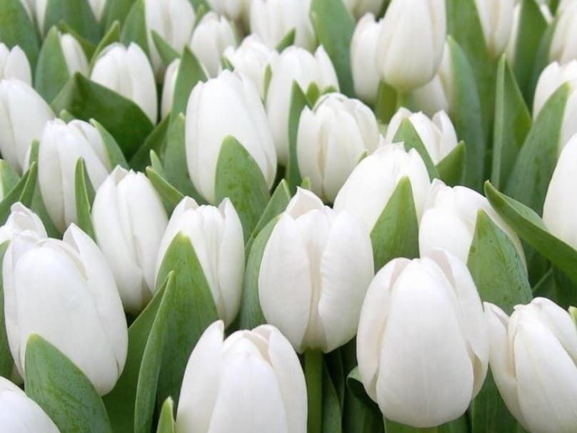 Foto Bunga Cantik Putih 40 Gambar Bunga Cantik Indah Bagus Comel Foto Wallpaper Hd Foap Com Bunga Terompet Putih C Bunga Cantik Bunga Tulip Wallpaper Bunga