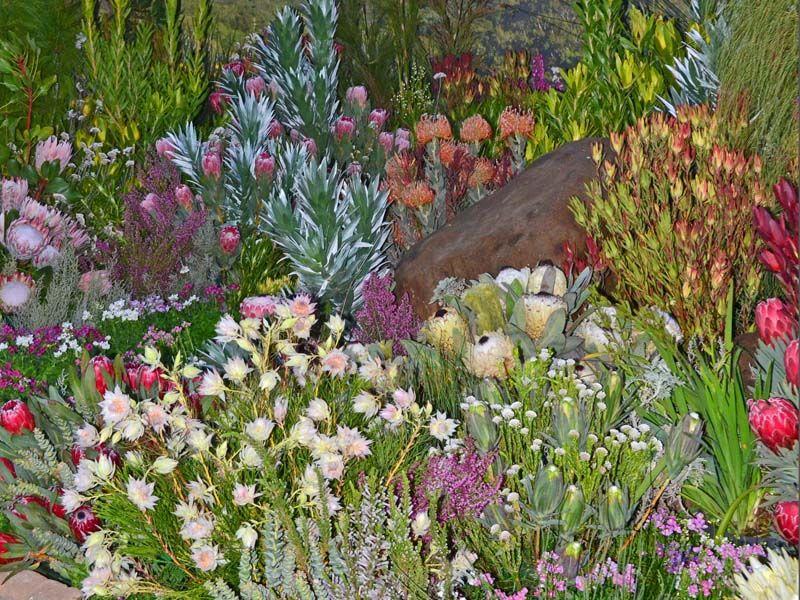 Image Result For Kirstenbosch Protea Garden Plants Garden Protea