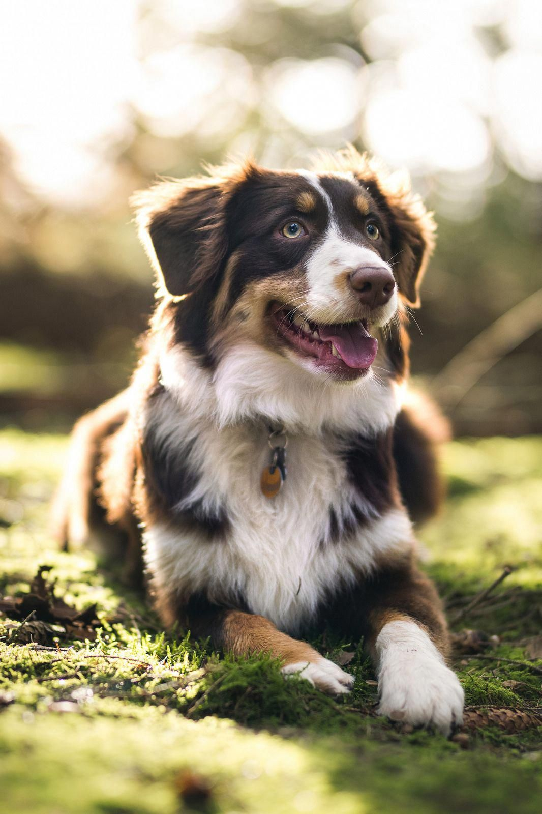 Australian Shepherd Smart Working Dog