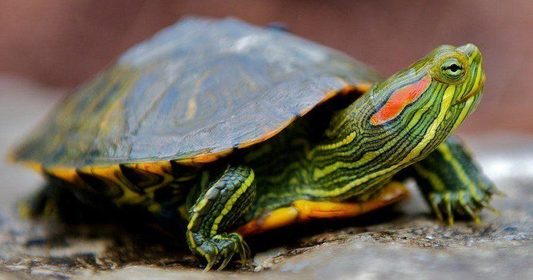 10 Types of Turtles You Can Have as Pets Pet turtle, Red