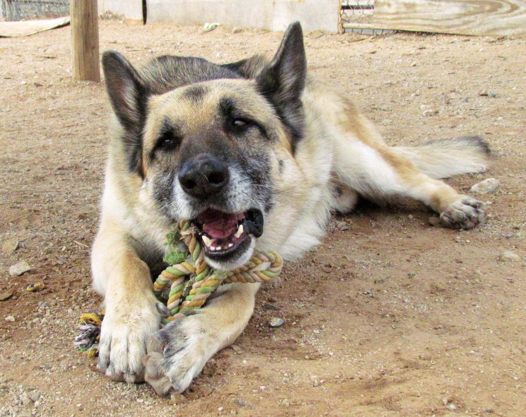 German Shepherd Dog Dog For Adoption In San Tan Valley Az Adn