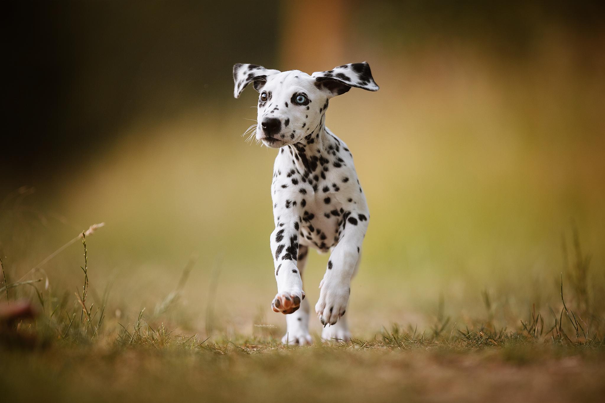 Dalmatiner Welpe In 2020 Dalmatiner Welpen Hundebilder Tierfotografie