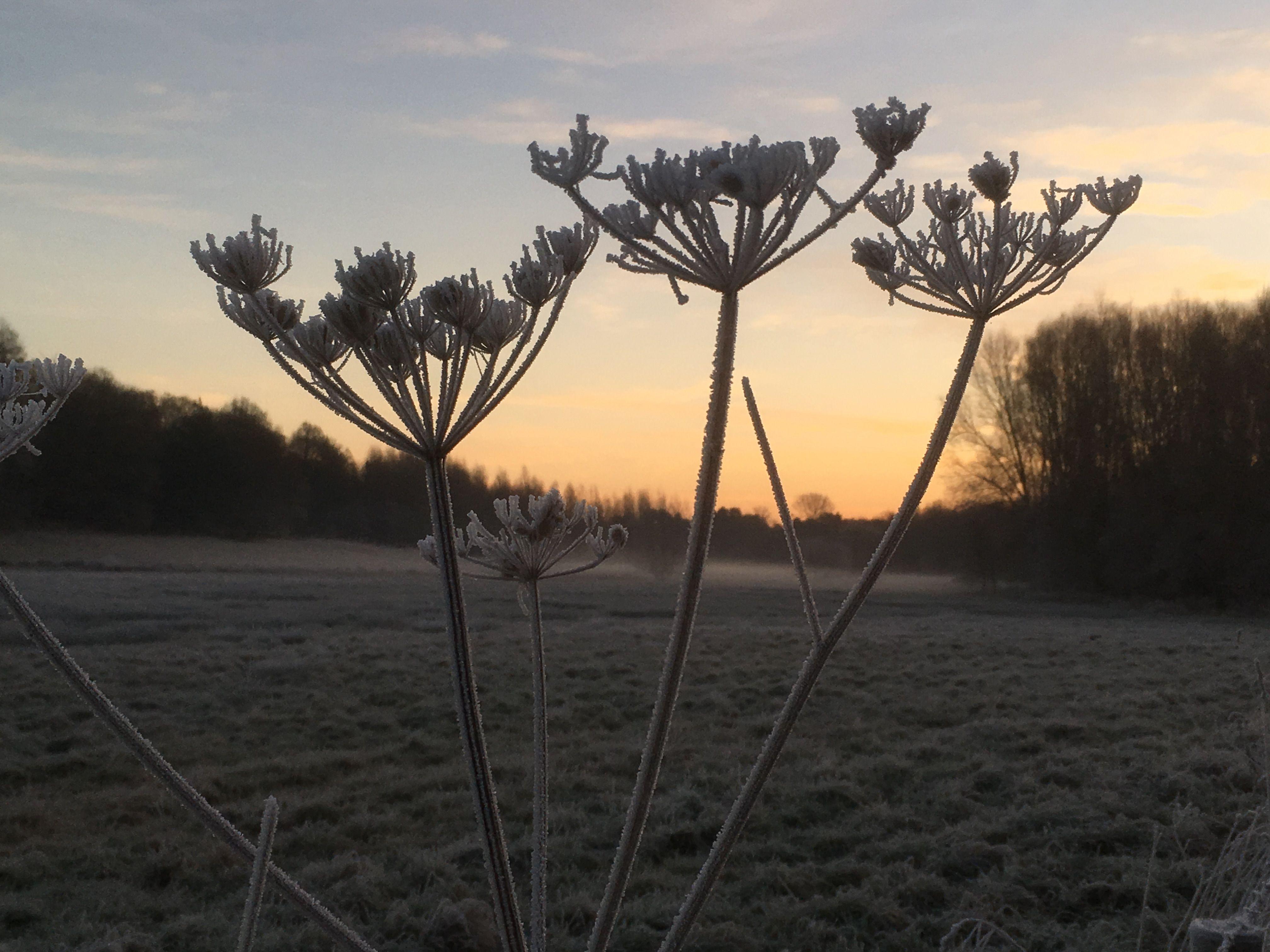Sunrise with frosty hogweed Bowers Lock Jan 3