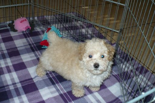 Poodle Toy Puppy For Sale In Tucson Az Adn 23963 On