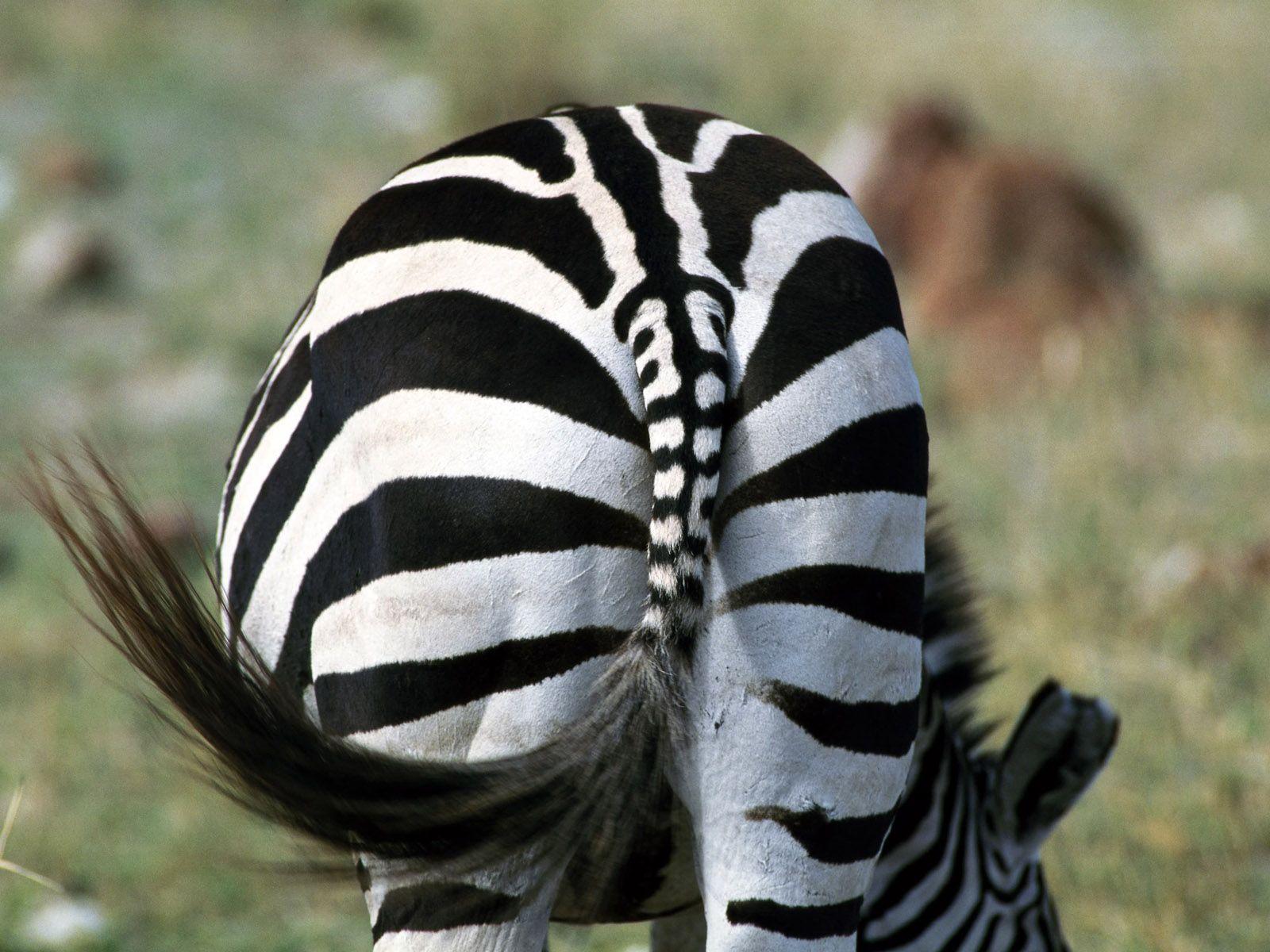 Backend Animal Wallpaper Zebra Zebras