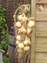 Growing Onions in Clusters - The Easy Way to Grow from Seed