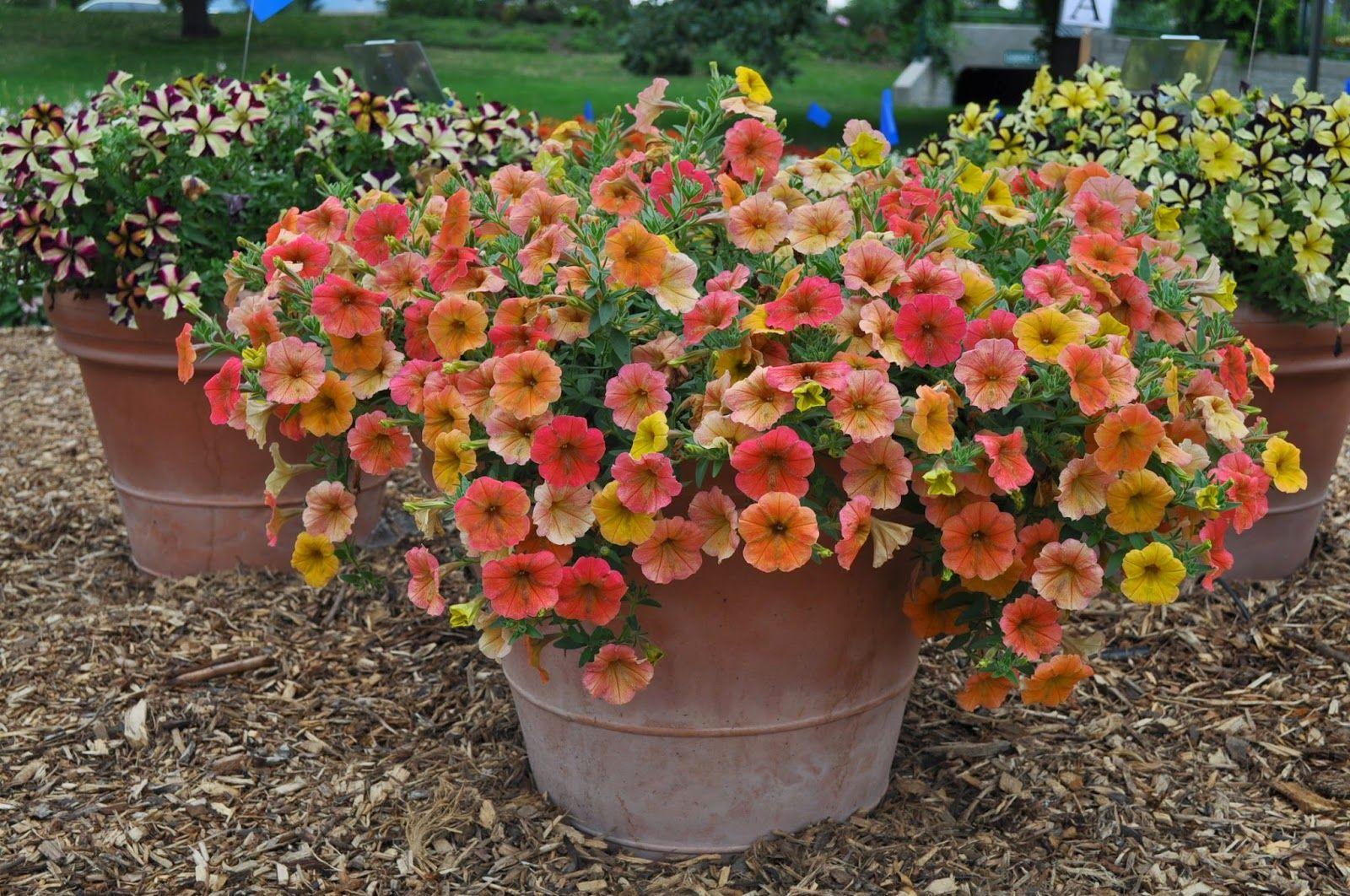 Petunia 'Cascadias Indian Summer' is a staff favorite