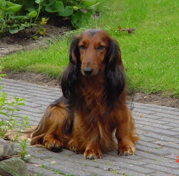 Dachshund Standard Longhair Long Haired Dachshund Dachshund