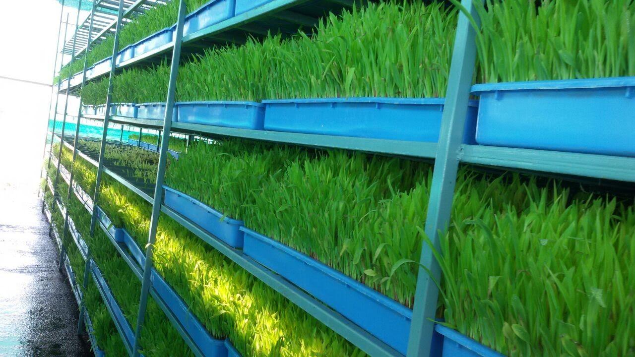 Hydroponic grass for goats , junnar goat farm ,Pune