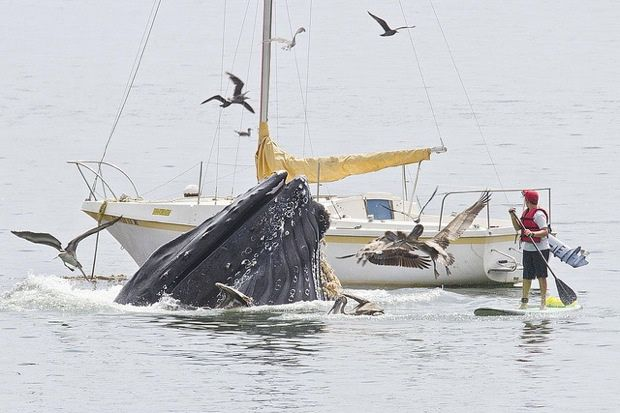 Bill Bouton, retired biologist, captured these pics off San Luis Obispo, showing humpback whales lunge-feeding a mere stone's throw from shore.