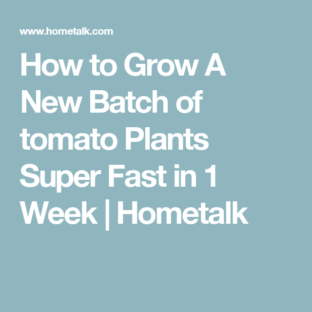 How to Grow A New Batch of tomato Plants Super Fast in 1 Week | Hometalk