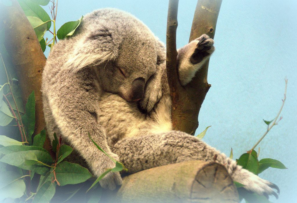 Sweet dreams are made of this! | This little koala at Edinbu… | Flickr