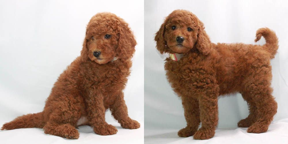 Toy Poodle Breeder & AKC Puppies for Sale Los Angeles CA