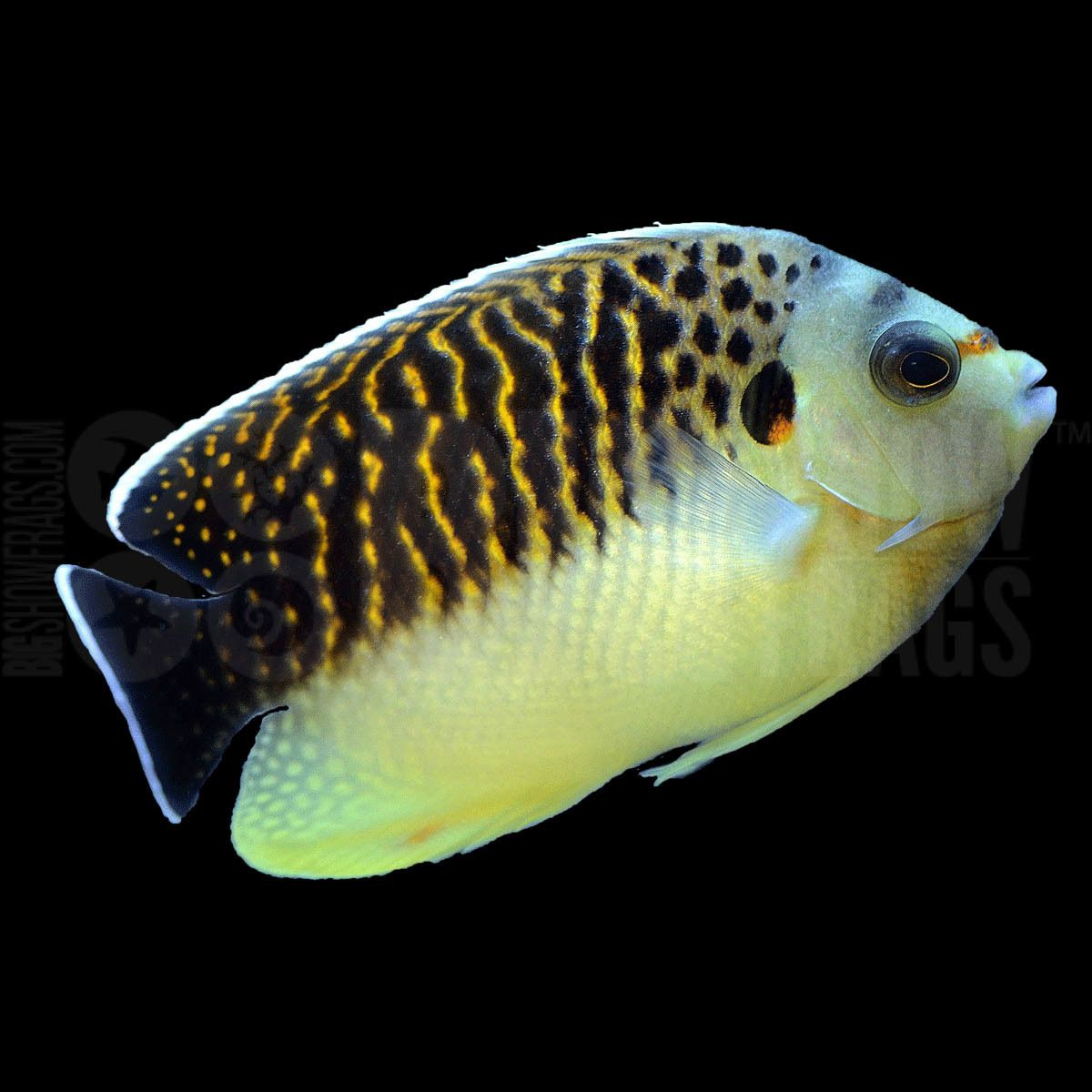 Rare Tiger Angelfish 280 Gem Tang Available Now At Reef Lounge Usa Https Www Reef2reef Com Threads Gem Tang Sale Only 280 In 2020 Angel Fish Marine Fish Fish Pet